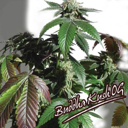 Buddha Kush OG - Big Buddha Seeds wietplant in bloeiperiode