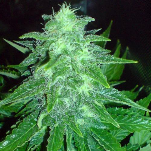 Cheesy Dick - Big Buddha Seeds