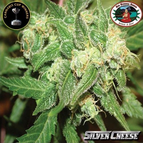 Silver Cheese wietplant van Big Buddha Seeds.