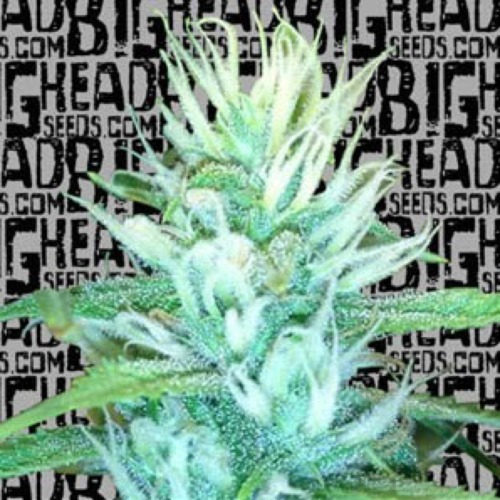 Big Freeze - Big Head Seeds