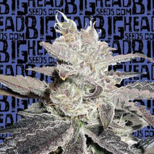 Freeze Berry Auto - Big Head Seeds