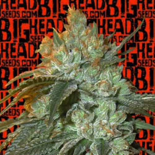Head Stash Auto - Big Head Seeds