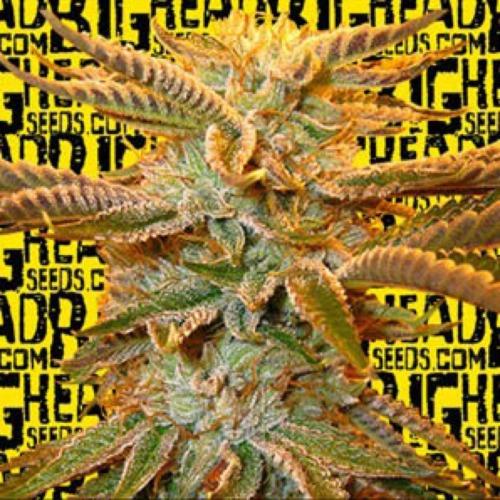 Heavy Head - Big Head Seeds