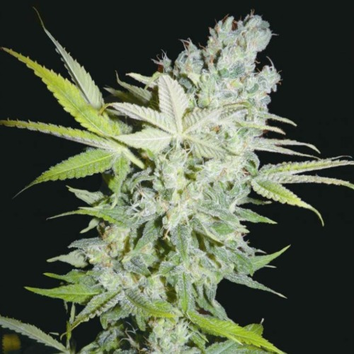 Criminal Jack feminised Biohazard Seeds