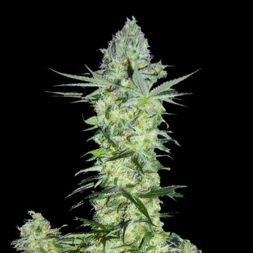 Goddess Kali Feminised Biohazard Seeds