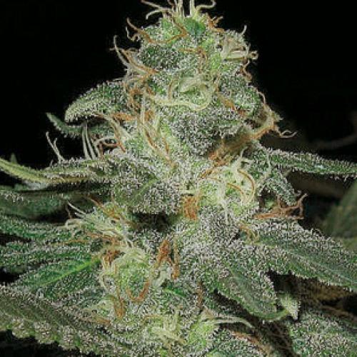 BC Diesel - Blimburn Seeds