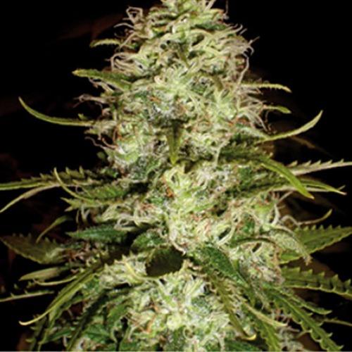 CR+ Blimburn Seeds