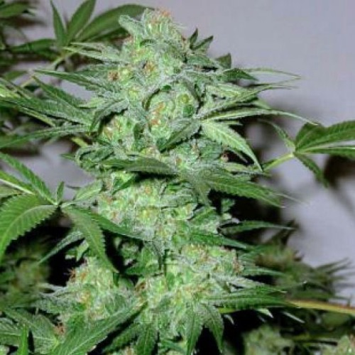 Blimburn Seeds Cream Automatic cannabis plant bud