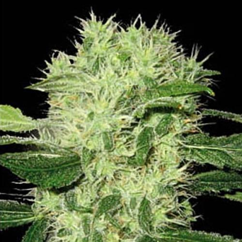 Dama Blanca - Blimburn Seeds