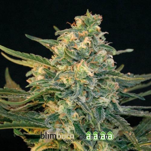 Guanabana - Blimburn Seeds