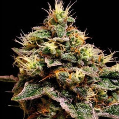 Kabrales - Blimburn Seeds