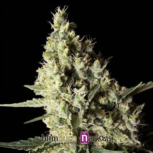 Narcosis - Blimburn Seeds