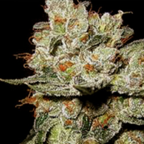 OG's Kush - Blimburn Seeds