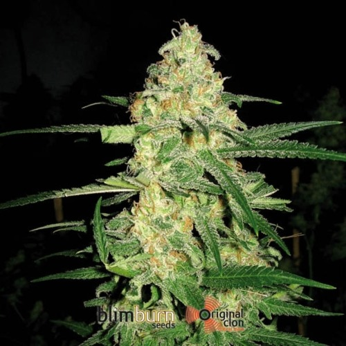 Original Clon - Blimburn Seeds