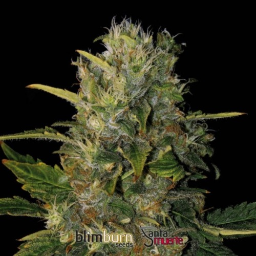 Santa Muerte - Blimburn Seeds
