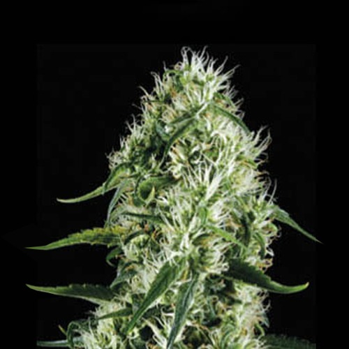 Silver Surfer Haze - Blimburn Seeds