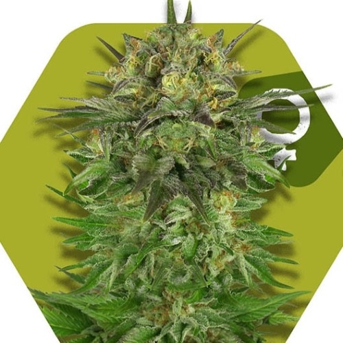 Blue Brilliant - Zambeza Seeds