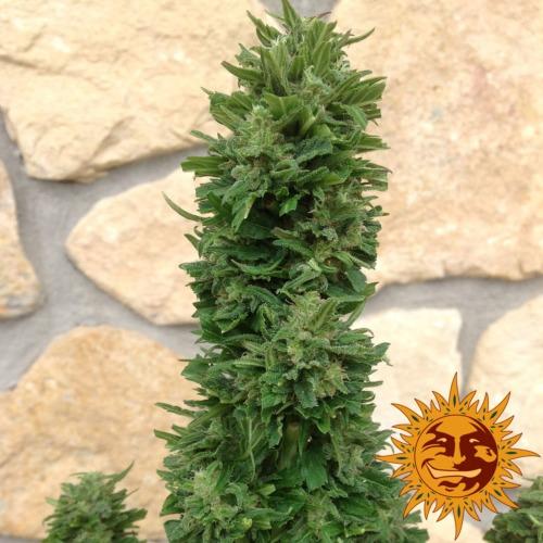 Blue Cheese Auto cannabis plant - Barney's Farm