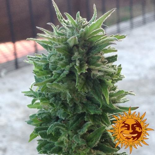 Blue Cheese Autoflowering - Barney's Farm