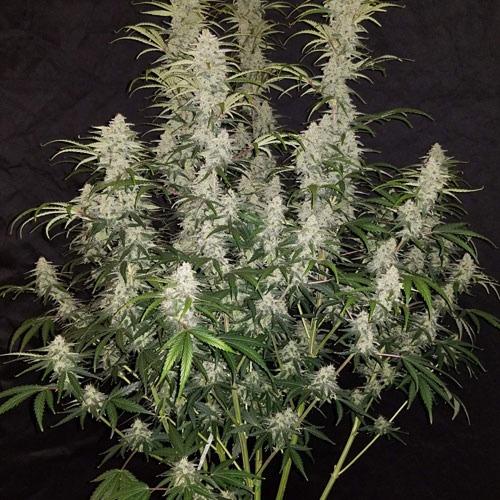 Cannabis plant Blue Dream'matic