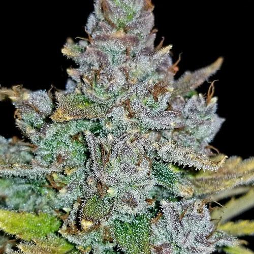 THC kristallen op wiettop Blue Dream'matic