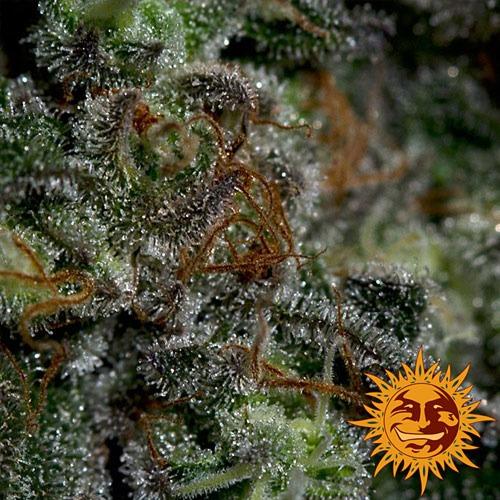 De Blueberry OG van Barney's Farm heeft een hoog THC gehalte