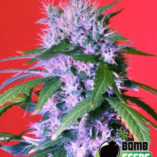 Berry Bomb Autoflower - Bomb Seeds