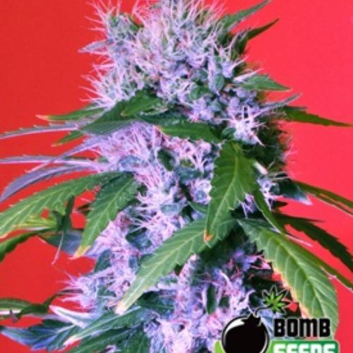 Berry Bomb - Bomb Seeds