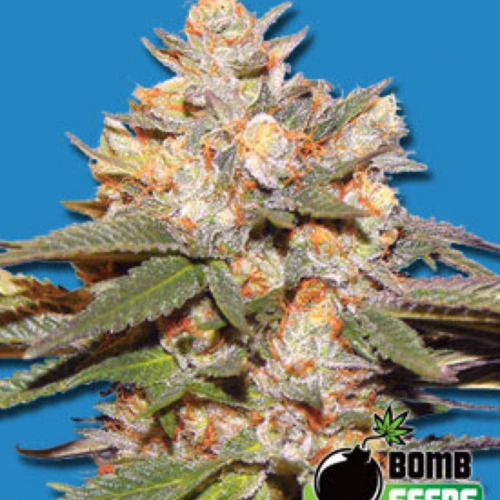 Big Bomb Autoflower - Bomb Seeds