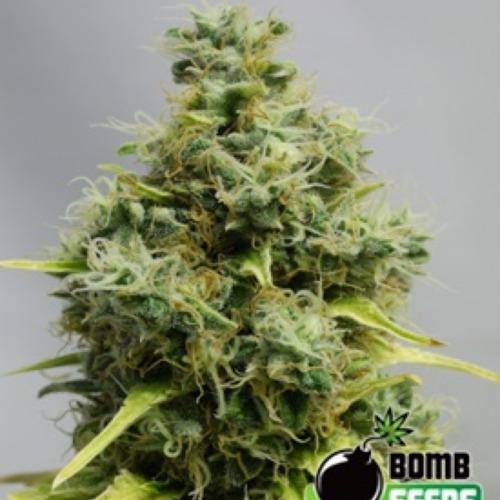 Big Bomb - Bomb Seeds