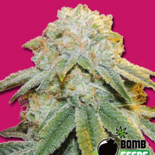 Bubble Bomb - Bomb Seeds