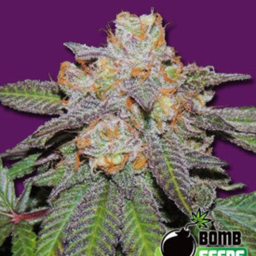 Cherry Bomb Autoflower - Bomb Seeds