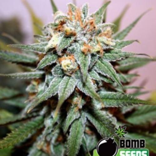 Hash Bomb - Bomb Seeds