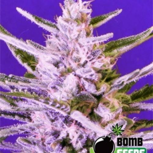 Ice Bomb - Bomb Seeds