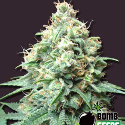 Kush Bomb - Bomb Seeds