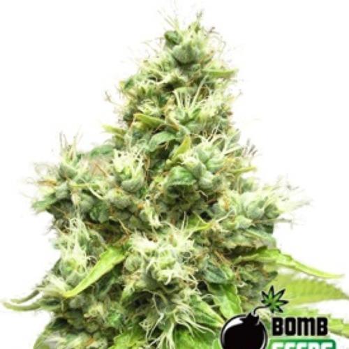 Medi Bomb #1 - Bomb Seeds