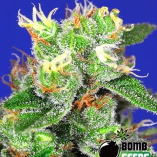 Medi Bomb #2 - Bomb Seeds