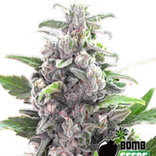 THC Bomb Autoflower - Bomb Seeds