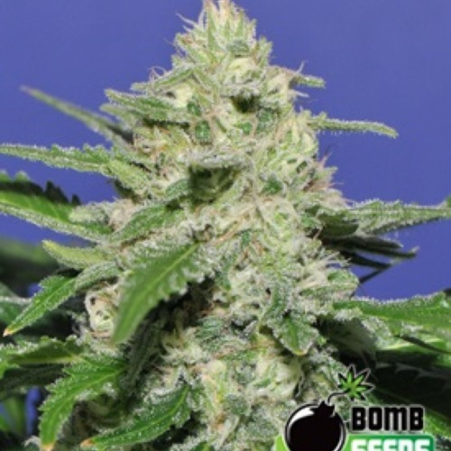 Widow Bomb - Bomb Seeds