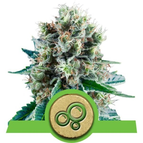 Bubble Kush Automatic Top - Royal Queen Seeds