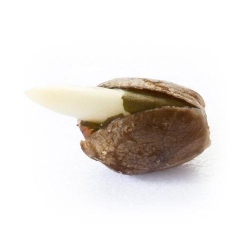 Ontkiemd zaadje Bubblegum XL - Royal Queen Seeds