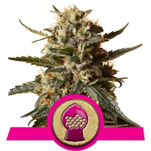 Top Bubblegum XL - Royal Queen Seeds