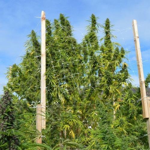 De Panama X Bangi Haze van ACE Seeds van bij een buiten kweek meer dan 2 meter hoog groeien.