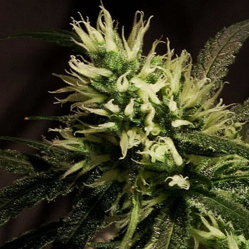 Bulldog Haze feminised - Bulldog Seeds