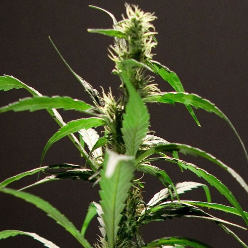 Energy Haze Feminised - Bulldog Seeds