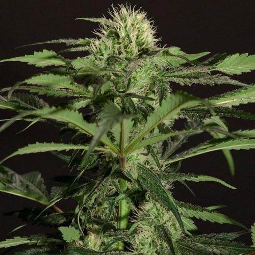 The Chronic - Bulldog Seeds