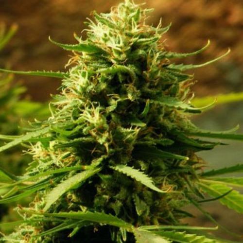 Candy Kush Cannabis Plant