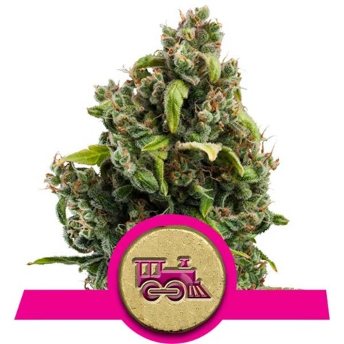 Candy Kush Express Fast Flowering - Royal Queen Seeds