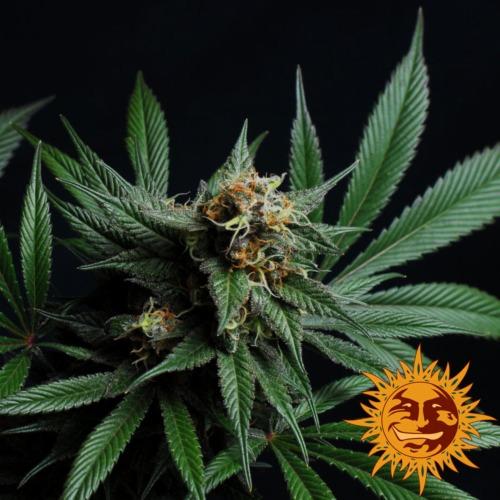 CBD Blue Shark cannabis plant van Barney's Farm