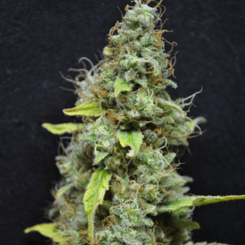 CBD Skunk haze cannabis seeds generate nice and very good quality cannabis
